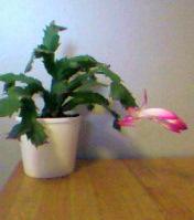 christmas-cactus